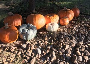 a line of pumpkins